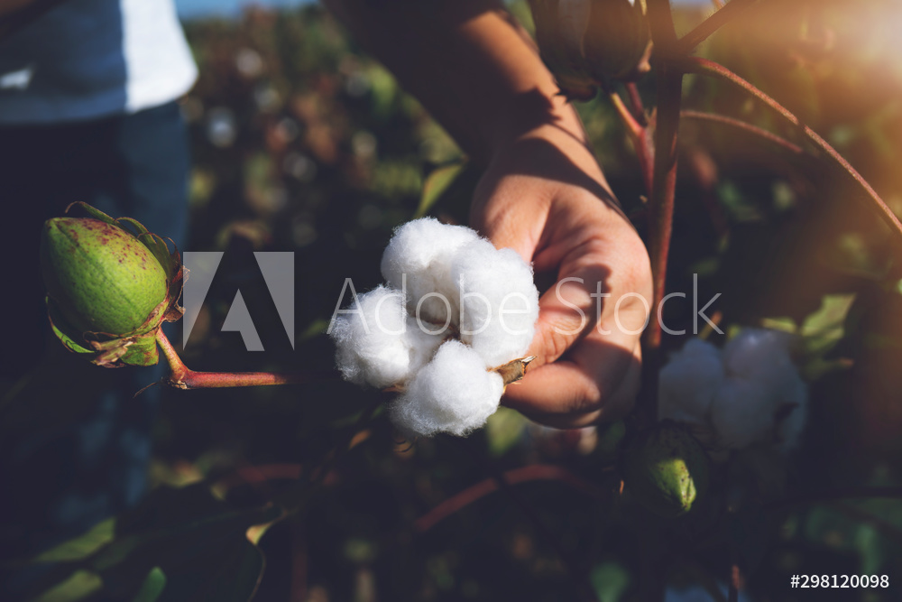 Hand holding natural cotton flower blooming at sunset